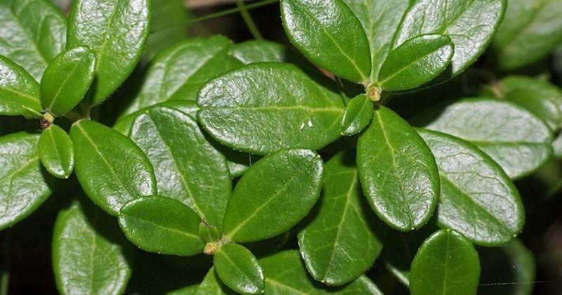 Брусники-листья